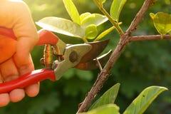 δέντρα περικοπής κηπουρών με τις ψαλίδες περικοπής Στοκ εικόνες με δικαίωμα ελεύθερης χρήσης