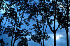δέντρα σκιαγραφιών δασικό δρύινο φως του ήλιου σχεδίου συνόρων ανασκόπησης φθινοπώρου βελανιδιών Στοκ Φωτογραφίες