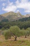 δέντρα της Ισπανίας ελιών Ανδαλουσίας Στοκ Εικόνα