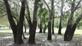 Δέντρα της Aspen, cottonwood Στοκ εικόνα με δικαίωμα ελεύθερης χρήσης