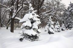 Δέντρα του FIR Στοκ φωτογραφία με δικαίωμα ελεύθερης χρήσης