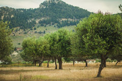 δέντρα φυτειών ελιών Στοκ εικόνα με δικαίωμα ελεύθερης χρήσης