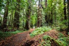 Δέντρα Redwood Στοκ Φωτογραφία