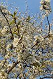 δέντρο άνθισης Στοκ Εικόνες