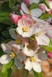 δέντρο άνοιξη κλάδων ανθών άνθισης μήλων Στοκ φωτογραφία με δικαίωμα ελεύθερης χρήσης