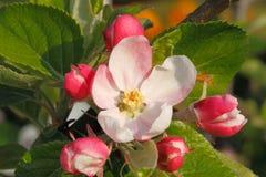 δέντρο άνοιξη κλάδων ανθών άνθισης μήλων Στοκ εικόνες με δικαίωμα ελεύθερης χρήσης