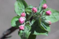 δέντρο άνοιξη κλάδων ανθών άνθισης μήλων Στοκ Εικόνα