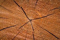 δέντρο δαχτυλιδιών Στοκ Εικόνα