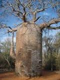 δέντρο αδανσωνιών Στοκ Εικόνες