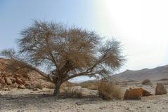 δέντρο βράχου φωτογραφιών PETRA της Ιορδανίας ερήμων Στοκ Εικόνες