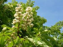 δέντρο κάστανων Στοκ Εικόνες