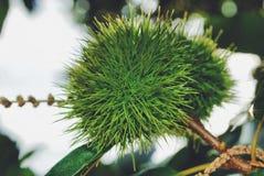 δέντρο κάστανων Στοκ Εικόνα