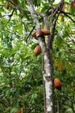 δέντρο κακάου στοκ φωτογραφίες