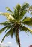 Δέντρο καρύδων ενάντια στους μπλε ουρανούς Στοκ Εικόνες