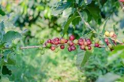 Δέντρο καφέ Στοκ Εικόνα