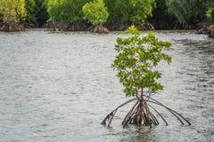 δέντρο μαγγροβίων στη θάλασσα Στοκ Φωτογραφίες