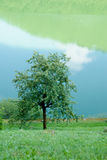 δέντρο μηλιάς Στοκ Φωτογραφία
