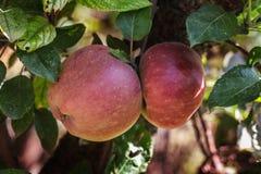 δέντρο οπωρώνων κλάδων Αυγούστου μήλων στοκ εικόνες