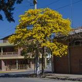 δέντρο λουλουδιών κίτρινο Στοκ Εικόνες