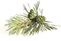 δέντρο πεύκων κώνων κλάδων Στοκ φωτογραφίες με δικαίωμα ελεύθερης χρήσης