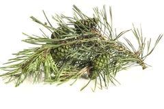 δέντρο πεύκων κώνων κλάδων Στοκ Φωτογραφία