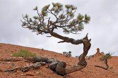 Δέντρο πεύκων στο φαράγγι του Bryce Στοκ φωτογραφία με δικαίωμα ελεύθερης χρήσης
