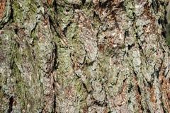 δέντρο πεύκων φλοιών Στοκ Εικόνες