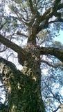 δέντρο που στρίβεται Στοκ Εικόνες