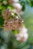 δέντρο προτύπων bougainvillea μπονσάι Στοκ φωτογραφία με δικαίωμα ελεύθερης χρήσης
