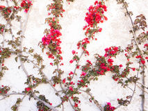 δέντρο προτύπων bougainvillea μπονσάι Στοκ εικόνα με δικαίωμα ελεύθερης χρήσης