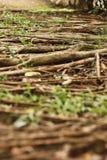 δέντρο ρίζας Στοκ Φωτογραφίες