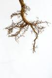δέντρο ριζών Στοκ Φωτογραφίες