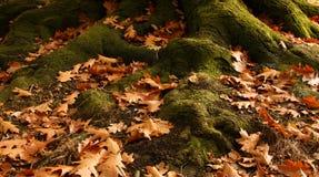 δέντρο ριζών Στοκ Εικόνες