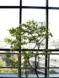 δέντρο στα δοχεία λουλουδιών Στοκ Εικόνες