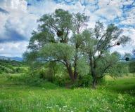 Δέντρο στο χορτοτάπητα Στοκ Εικόνα