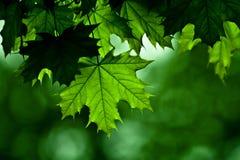 δέντρο σφενδάμνου λεπτο&mu Στοκ Εικόνες