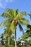 δέντρο της Κούβας Guillermo καρύδων cayo Στοκ εικόνες με δικαίωμα ελεύθερης χρήσης