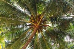δέντρο της Κούβας Guillermo καρύδων cayo Στοκ Εικόνα