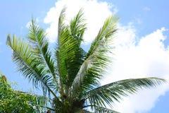 δέντρο της Κούβας Guillermo καρύδων cayo Στοκ Εικόνες
