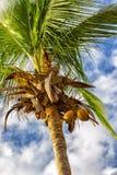 δέντρο της Κούβας Guillermo καρύδων cayo Στοκ Φωτογραφία