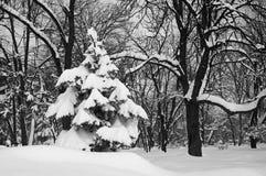 Δέντρο του FIR - ΑΚΑΤΕΡΓΑΣΤΟ σχήμα Στοκ Φωτογραφίες