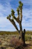 δέντρο joshua Στοκ εικόνες με δικαίωμα ελεύθερης χρήσης