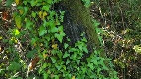 δέντρο sigla, εναλλακτική ιατρική, ανησυχία, βρογχίτιδα, περικοπές, ringworm, scabies, πληγές, απόθεμα βίντεο