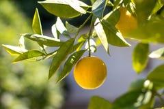 Ένωση λεμονιών στο δέντρο λεμονιών - δέντρο λεμονιών Στοκ φωτογραφία με δικαίωμα ελεύθερης χρήσης