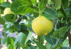Ένωση λεμονιών στο δέντρο λεμονιών Στοκ Φωτογραφία