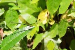 ένωση λιβελλουλών στο φύλλο στο δάσος Στοκ Φωτογραφίες