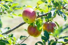 ένωση κλάδων μήλων ώριμη Στοκ Εικόνες