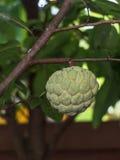 Ένωση μήλων κρέμας στο δέντρο Στοκ εικόνες με δικαίωμα ελεύθερης χρήσης