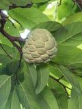 Ένωση μήλων κρέμας στο δέντρο Στοκ Εικόνες