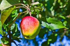 Ένωση της Apple σε ένα δέντρο μηλιάς Στοκ Εικόνες